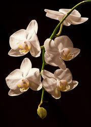 weiÃ?e Orchideen