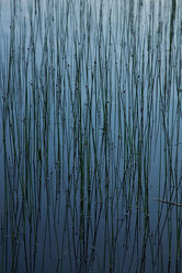 Gräser im See