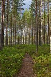 Waldweg im Nationalpark Patvinsuo - Finnland 2