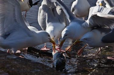 Bild mit Tiere, Natur, Vögel, Möwe, Küste, Möve, Fisch, Skandinavien, Möven, Fressen, Küstenvogel, meervogel