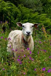 Schaf auf den Lofoten