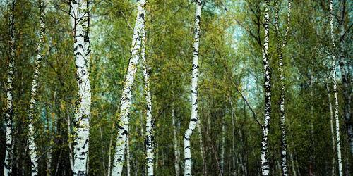 birch forest -light