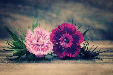 Bild mit Pflanzen, Blumen, Rosa, Blume, Pflanze, Rosenblüte, nelken, Blüten, Nelke