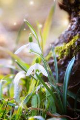Bild mit Pflanzen, Blumen, Frühling, Blume, Pflanze, Blüten, blüte, frühjahr, Schneeglöckchen