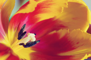 Bild mit Pflanzen, Blumen, Blume, Pflanze, Makro, Tulpe, Tulpen, Tulpenstrauß, Blüten, Makros, blüte