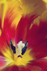 Bild mit Pflanzen, Blumen, Blume, Pflanze, Tulpe, Tulpen