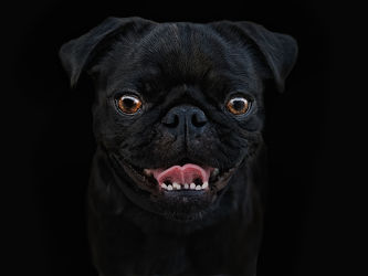 Bild mit Tiere,Hunde,Tier,Hund,Dog,Mops,Welpe,Mops Welpe