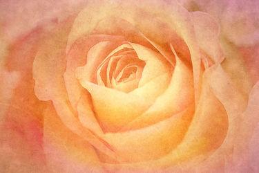 Rose mit Textur