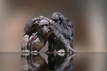 Bild mit Tiere,Schimpansen,Affe,Tier,Affen,Tierwelt,Schimpanse