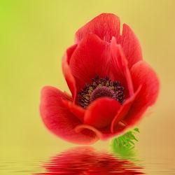 Bild mit Pflanzen, Blumen, Blume, Pflanze, Flower, Flowers, Blüten, anemonen, blüte, anemone