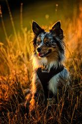 Bild mit Tiere,Haustiere,Hunde,Tier,Hund,Dog,Schäferhund,Haustier,Shepherd,Amerikanischer Schäferhund