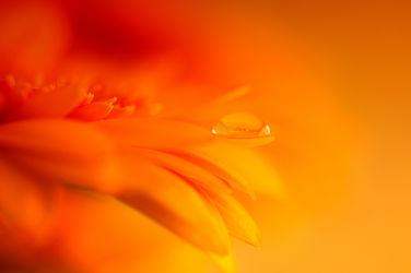 Bild mit Orange, Pflanzen, Blumen, Frühling, Blume, Pflanze, Gerbera, Wassertropfen, Regentropfen, Wasserperlen, Tropfen, frühlingsblumen, Blüten, Frühlingsgefühle, blüte, frühlingsblüher