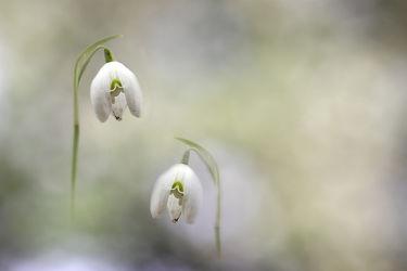 Bild mit Pflanzen, Schneeglöckchen