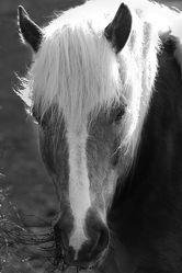 Bild mit Tiere, Pferde, Tier, Kinderbild, Kinderbilder, Pferd, schwarz weiß, reiten, SW, Pferdeliebe, pferdebilder, pferdebild