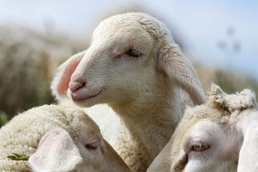 Bild mit Tiere, Tier, Schafe, Weide, Herde, Schaf, niedlich, süß, Lamm, Lämmer