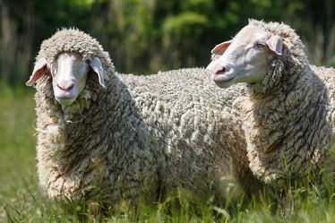 Bild mit Tiere, Tier, Schafe, Weide, Herde, Schaf, Lamm, Lämmer