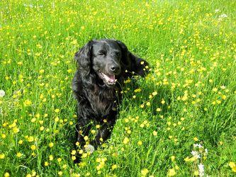 Mischlingshund Sammy auf der Blumenwiese