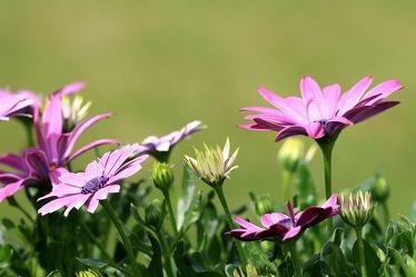 Lila Blüten des Kapkörbchen