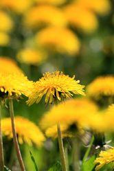 Bild mit Pflanzen, Blumen, Blume, Pflanze, Löwenzahn, Pusteblume, Pusteblumen, Fotografien, kuhblume, wildkraut