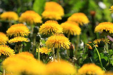 Bild mit Pflanzen, Blumen, Blume, Pflanze, Löwenzahn, Pusteblume, Pusteblumen, Fotografien