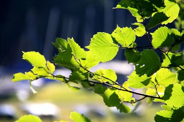 Bild mit Natur, Bäume, Wälder, Wald, Baum, Blätter, Blatt, Buche, Sonnenlicht, Hainbuche