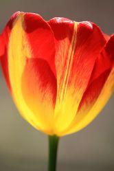 Bild mit Pflanzen, Blumen, Blume, Pflanze, Tulpe, Tulpen, Blüten, Fotografien, blüte