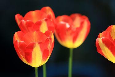 Bild mit Pflanzen, Blumen, Blume, Pflanze, Tulpe, Tulpen, Blüten, blüte