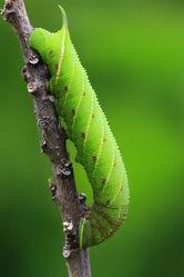 Bild mit Insekten, Schmetterlinge, Raupen und Schmetterlinge, Schmetterling, Falter, Insekt, Raupe, Nachtfalter, raupen, schwärmer, abendpfauenauge