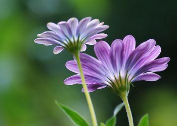 Bild mit Natur, Blumen, Lila, Blume, Makro, Blüten, blüte, lila Blume, lila Blüten