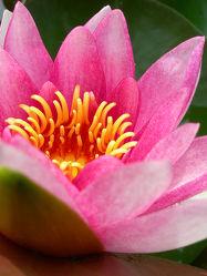 Seerosenblüte I