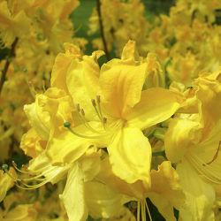 Gelbe Sommerblüten