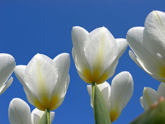 Bild mit Blumen, Weiß, Frühling, Blume, Makro, Tulpe, Tulpen, Blüten, Ostern, blüte