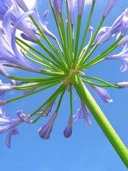 Bild mit Pflanzen, Blumen, Blume, Pflanze, Makro, Lilie, Lilien, Blüten, blüte, nahaufnahme, Blütenblätter