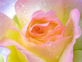 Bild mit Blumen, Rosen, Sommer, Blume, Rose, Makro, Rosenblüte, Wassertropfen, Regentropfen, Wasserperlen, Tropfen, garten, edelrose, Tau