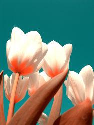 Bild mit Natur, Pflanzen, Blumen, Blume, Pflanze, Tulpe, Tulpen, Flower, Blüten, blüte