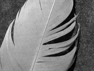 Bild mit Federn, Gefieder, schwarz weiß, Feder, SW, Vogelfeder, Vogelfedern