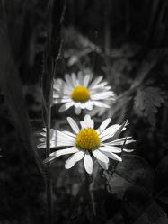 Bild mit Pflanzen, Blumen, Blume, Wiese, gänseblümchen, Colorkey, Gartenblumen, garten, Wiesen, schwarz weiß, SW, blumenwiese
