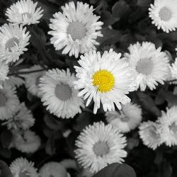 Bild mit Gelb, Kamillen, gänseblümchen, Colorkey, Gartenblumen, schwarz weiß, Kamille, SW, blumenwiese