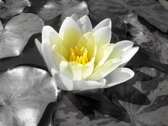 weisse Seerose im Teich