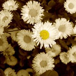 Bild mit Blumen, Blume, Wiese, Retro, gänseblümchen, Gartenblumen, sepia, VINTAGE, Wiesen, blumenwiese