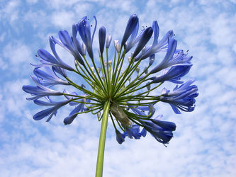 Bild mit Blau, Lilie, Lilien, Gartenblumen, schmucklilie