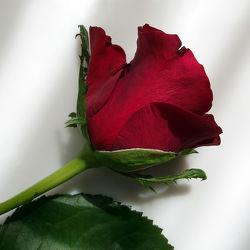 Bild mit Blumen, Rosen, Blume, Rose, Makro, romantik, Blüten, Gartenblumen, blüte, Liebe