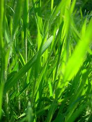 grünes Frühlingsgras - Gras