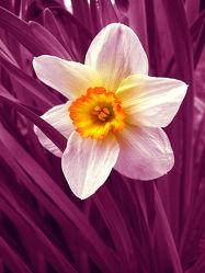 Bild mit Pflanzen, Blumen, Rosa, Lila, Blume, Pflanze, Blüten, Gartenblumen, blüte, pink, narzisse, narzissen