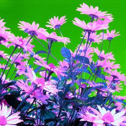 pinker Sonnenhut - Abstrakt