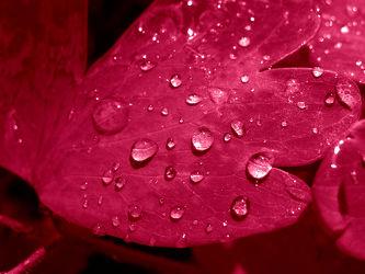 Bild mit Pflanzen, Rot, Blätter, Pflanze, Blatt, Wassertropfen, Regentropfen, Wasserperlen, Tropfen