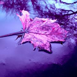 Bild mit Natur, Wasser, Lila, Blätter, Blatt, Abstrakt, pink, Baumblatt, herbstblatt