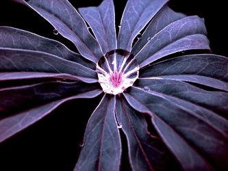 Bild mit Wasser, Pflanzen, Blumen, Violett, Blume, Pflanze, Wassertropfen, Tropfen, Wasserpflanzen, Wasserperle