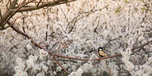 Kleine Kohlmeise im Apfelbaum