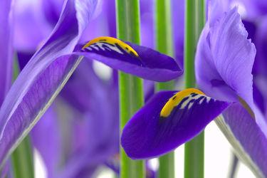 Bild mit Pflanzen, Blumen, Lila, Blume, Pflanze, Iris, Flora, Blüten, blüte